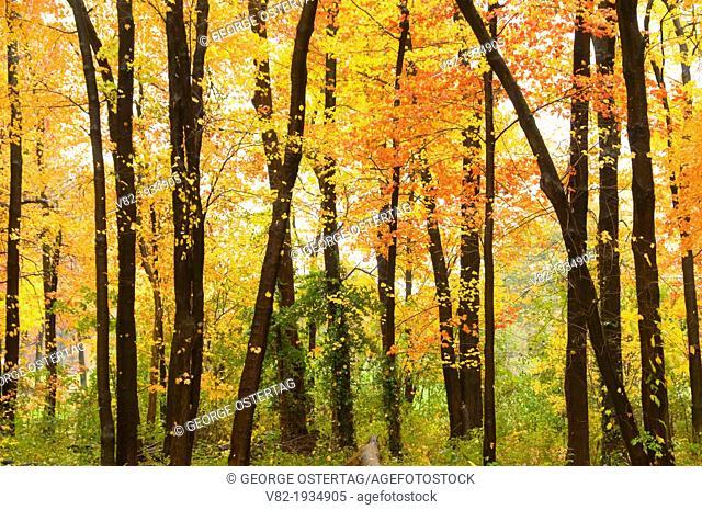 Sugar maple grove in autumn, Wolcott Park, West Hartford, Connecticut