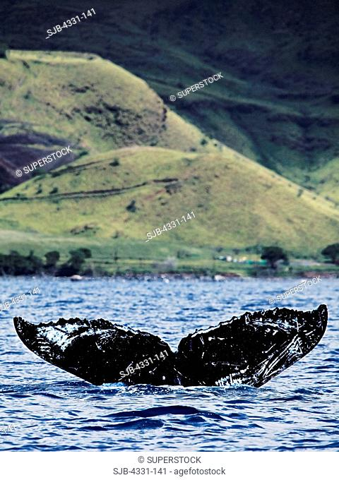 A humpback whale's tail markings are used to identify individual animals. This is useful for tracking migration and calculating age