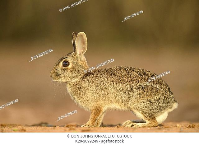 Desert cottontail (Sylvilagus audubonii), Santa Clara Ranch, Starr County, Texas, USA