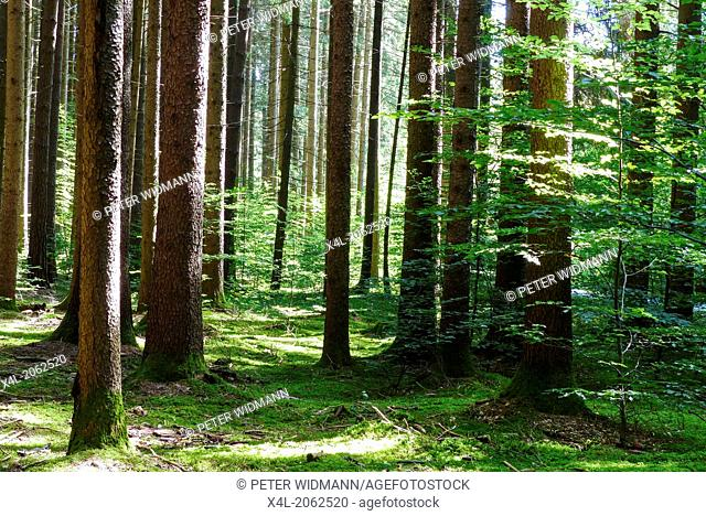 Sunlight falls in a spruce forest