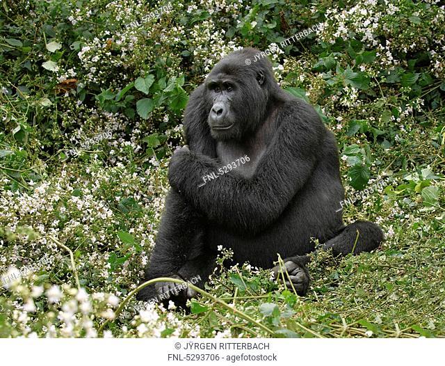 Mountain gorilla, Gorilla beringei beringei, Bwindi Impenetrable National Park, Uganda, Africa
