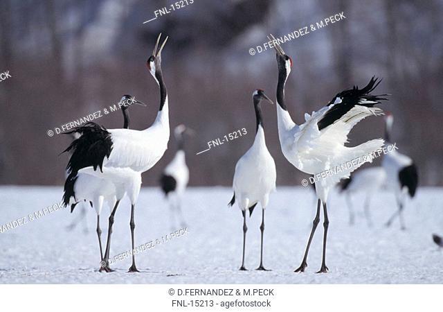 Japanese Crane Grus japonensis birds on snowcovered landscape, Kushiro Shitsigen National Park, Hokkaido, Japan