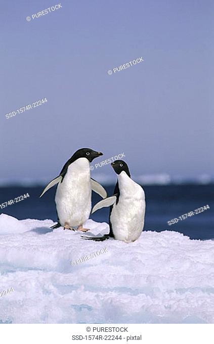 Two Adelie Penguins, Antarctica