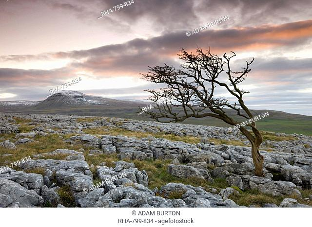 Snow capped Ingleborough and wind blown hawthorn tree on the limestone pavements on Twistleton Scar, Yorkshire Dales National Park, North Yorkshire, England