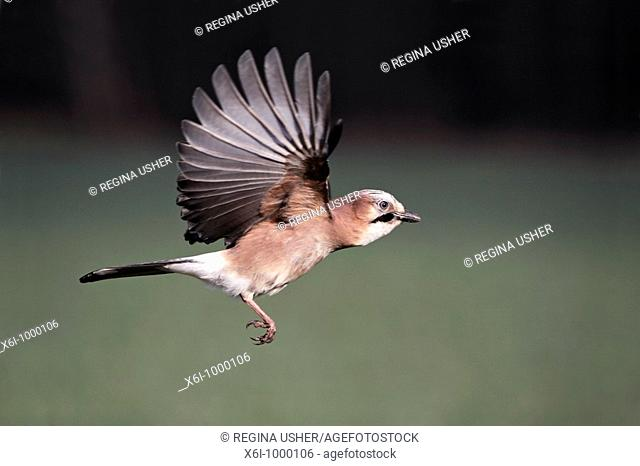 Jay Garrulus glandarius, in flight, Germany