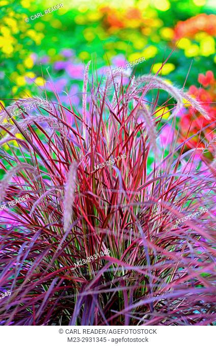 A soft-focus depiction of purple grass with a colorful background, Pennsylvania, USA