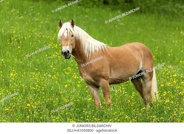 Haflinger Horse. Adult standing on a pasture in spring. Germany
