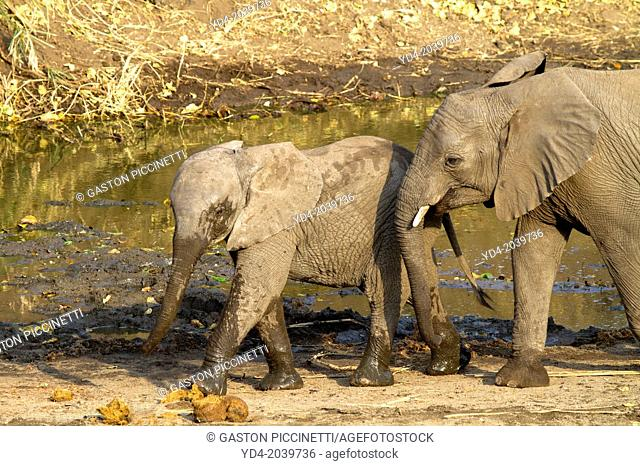 African Elephant (Loxodonta africana) - Youngs, in the waterhole, Kruger National Park, South Africa