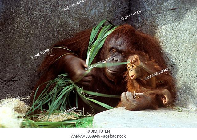Orangutan (Pongo pygmaeus) with young, Lowry Park Zoo, Tampa, FL