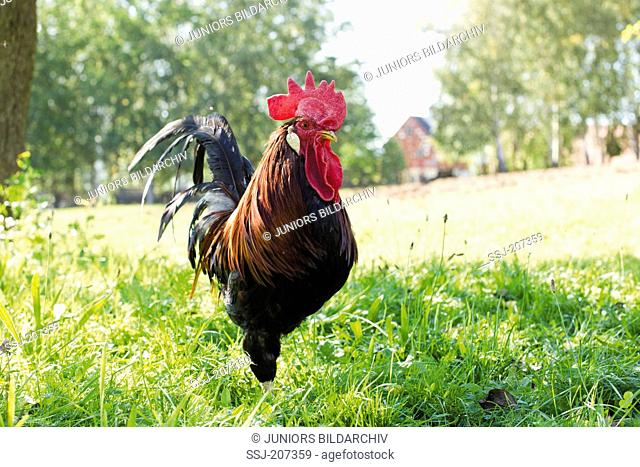 Domestic Chicken, breed: Brown Leghorn. Adult cock walking in grass. Germany