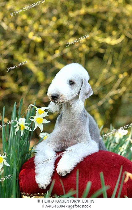 lying Bedlington Terrier