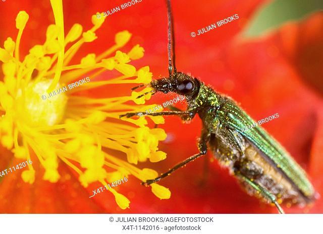 oedemera nobilis, a green metallic pollen-eating beetle found in gardens in the UK  Feeding on a heliathemum rock rose flower