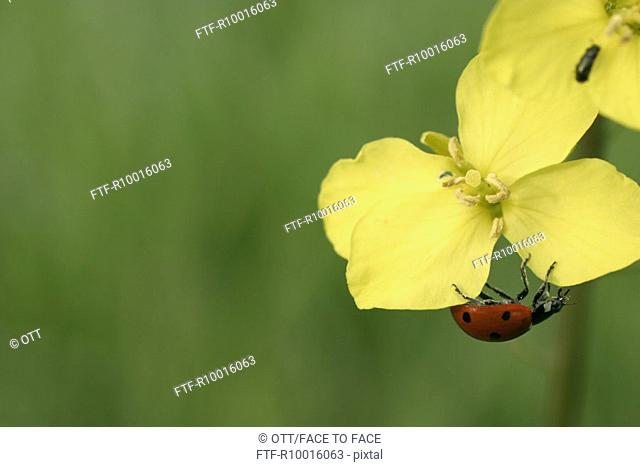 A ladybug having a grip on yellow colored flower petal