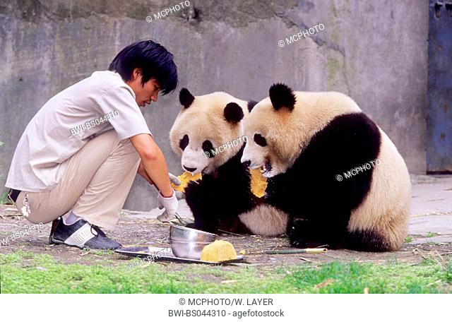 giant panda (Ailuropoda melanoleuca), keeper feeding two years old Giant Pandas in the research station of Wolong, China, Sichuan, Wolong