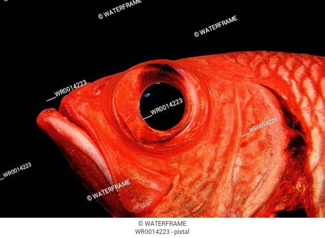 Whitetip soldierfish, Myripristis, Indian Ocean, Maldives Island