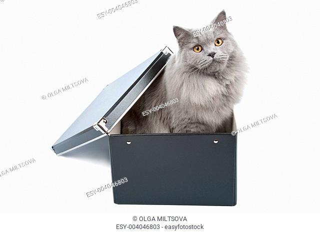 british cat in black box isolated