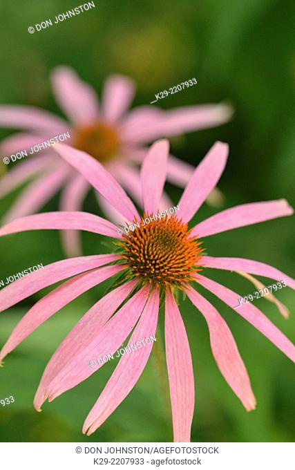 Pale purple coneflower (Echinacea pallida), Buffalo National River- Ponca Unit, Arkansas, USA