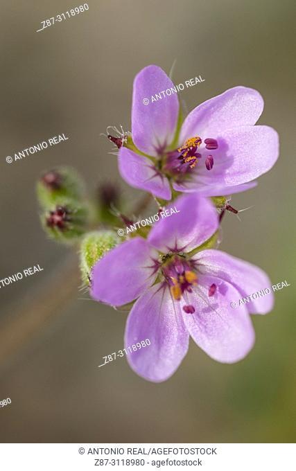 Flowers (Erodium gruinum). Almansa. Albacete. Spain