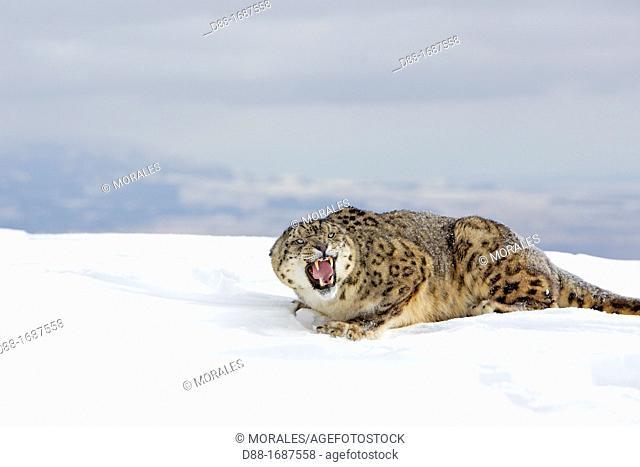 United States , Montana , Bozeman , Game farm , Snow Leopard  Panthera uncia or Uncia uncia