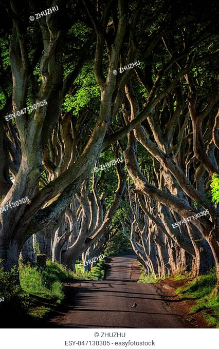 Early morning sunlight in beech alley The Dark Hedges in County Antrim, which are the most photographed spot in Northern Ireland