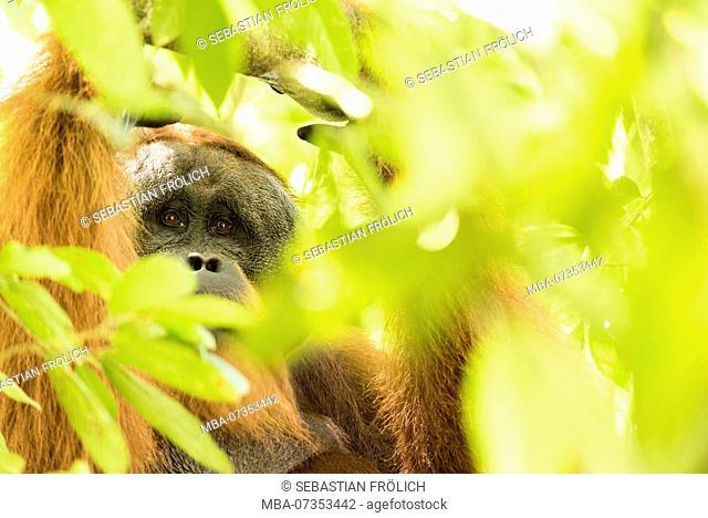 Male orangutan in branches