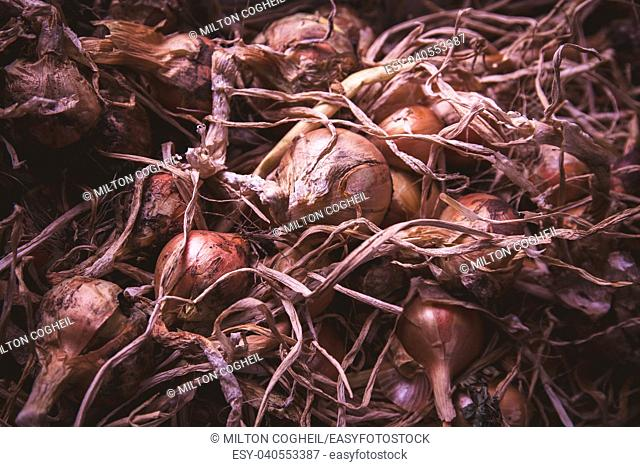 Onion (Allium) crop, harvested and drying