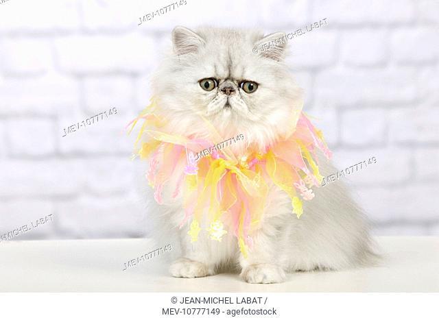 Cat - Persian Chinchilla wearing decorative scarf