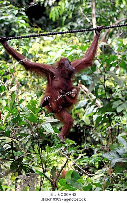 Orang Utan,Pongo pygmaeus,Sepilok Rehabilitation Centre,Sabah,Borneo,Malaysia,Asia,mother and young