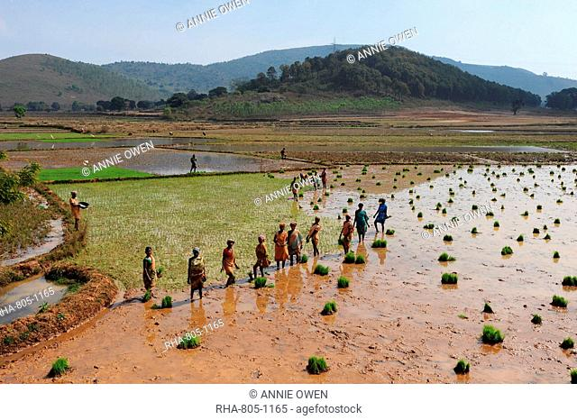 Women planting rice in the paddy in the undulating rural countryside near Desia Koraput, Odisha, India, Asia
