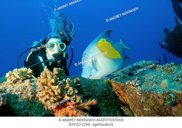 Diver looking at halfmoon angelfish, yellowband angelfish, yellowbar angelfish, yellow-blotch angelfish, or yellow-marked angelfish (Pomacanthus maculosus) on...