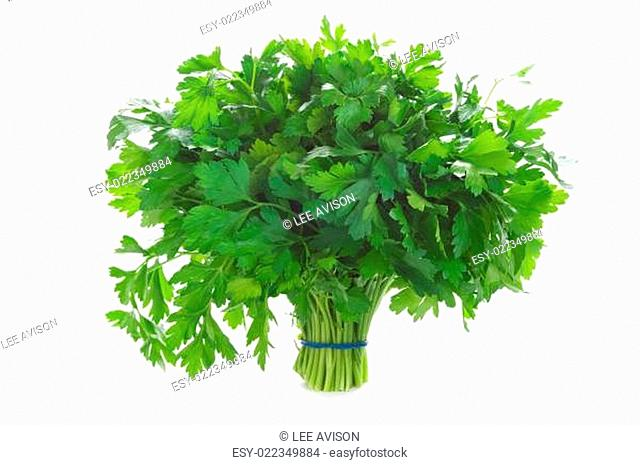 bunch of flat leaved parsley isolated on a white background