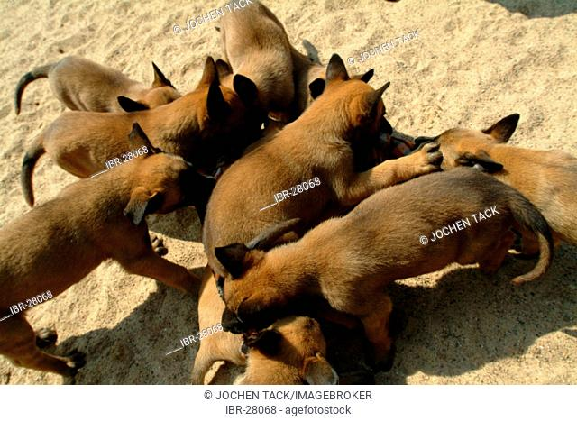 DEU, Germany, NRW:Whelps at the dog breeding at the police dog academy. Police dogs, K9 unit