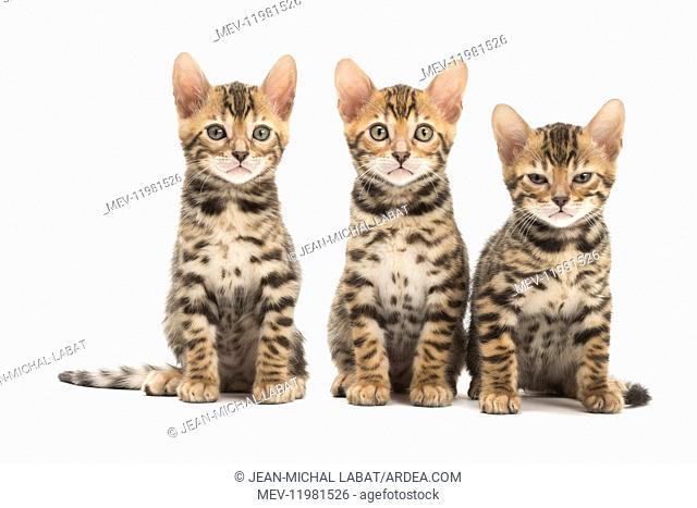 Cat - Three Bengal kittens in the studio