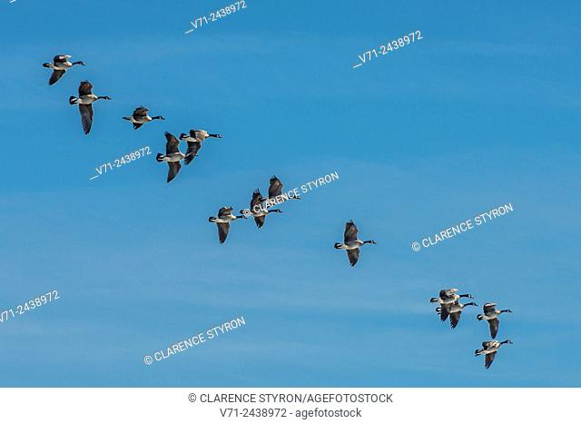 Canada Geese (Branta canadensis) Flock on Flight Path to Land on Lake in Corolla, NC USA during Migration