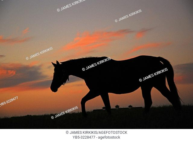 A young horse wanders the fields at sunset