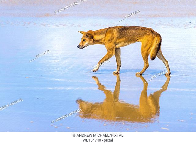 Dingo on 75 mile mile beach, Fraser Island, Queensland, Australia