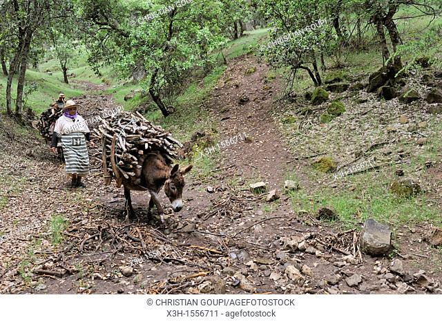 woman carrying wood on donkeyback, Atlas cedar forest, near Azrou, Middle Atlas, Morocco, North Africa