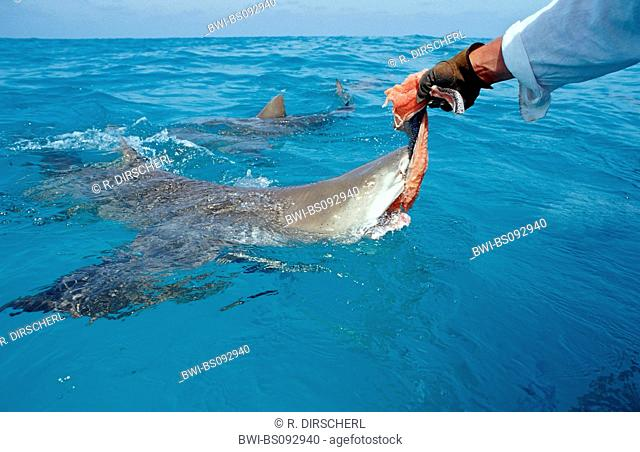 lemon shark (Negaprion brevirostris), biting single shark at the water surface getting food by a man, The Bahamas