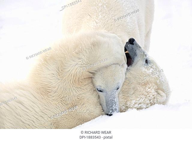 Two Polar Bears Ursus Maritimus Play Fighting To Sharpen Their Hunting Skills As They Wait For The Ice To Freeze Over At Hudson Bay, Churchill, Manitoba, Canada