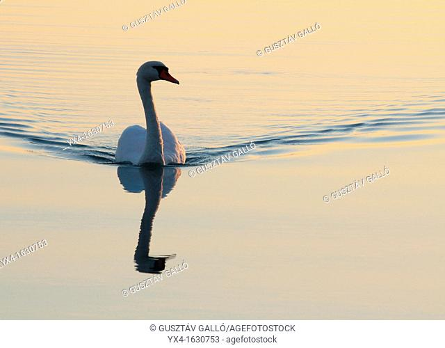 White swan swimming in the lake, the evening sun