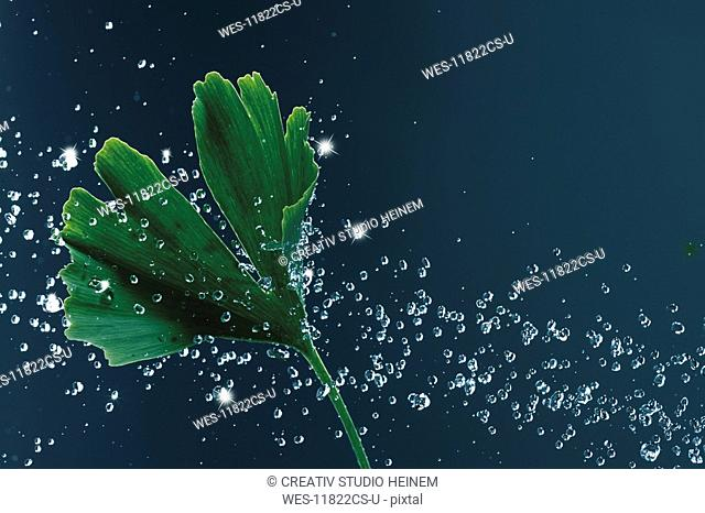 Gingko leaf with water droplets, close-up