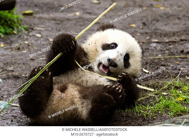 Baby Giant Panda on its back playing with bamboo in North America, USA