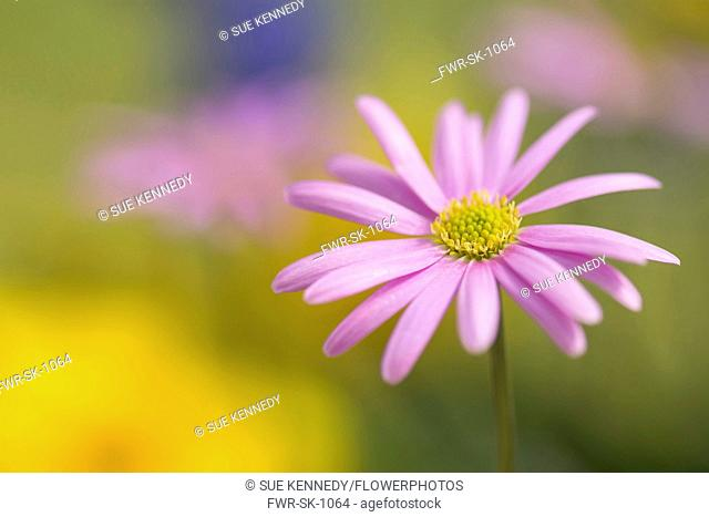 Anemone, Pink flower growing outdoor