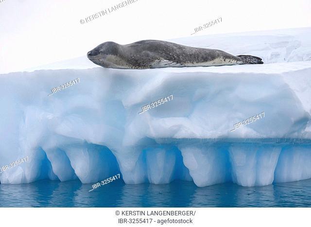 Leopard Seal (Hydrurga leptonyx) lying on an iceberg