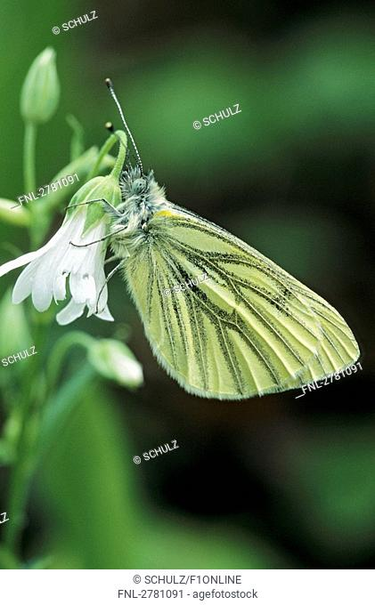 Close-up of Green-veined White Pieris napi butterfly pollinating Greater Stitchwort Stellaria holostea flower, Schleswig-Holstein, Germany