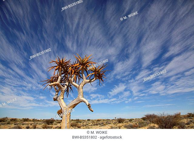 Kokerboom, Quivertree, Quiver Tree (Aloe dichotoma), Quivertree in front of cirrus clouds , South Africa, Augrabies Falls National Park