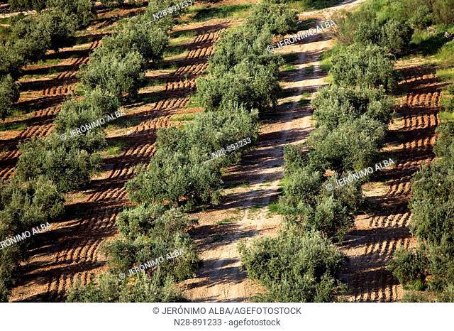 Olive grove, Priego de Cordoba, Cordoba province, Andalusia, Spain