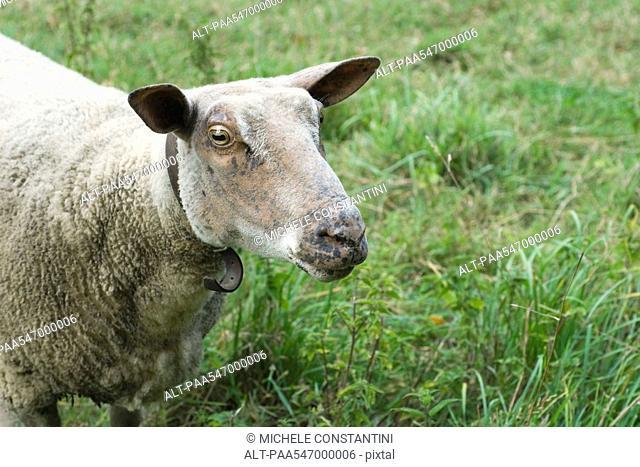 Sheep, close-up