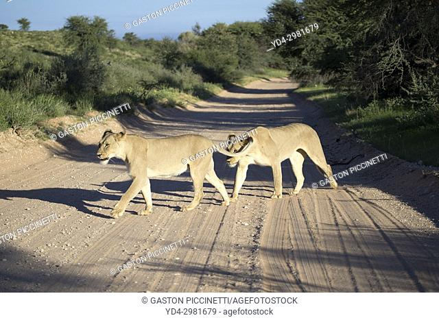 African lion (Panthera leo) - Female, on the road, Kgalagadi Transfrontier Park, Kalahari desert, South Africa/Botswana