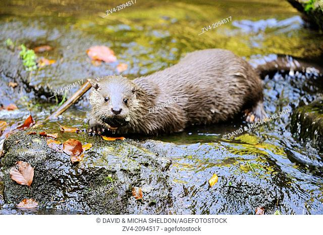 Close-up of a European otter (Lutra lutra) in a watercourse Sausbachklamm in the Bavarian Forest, Germany